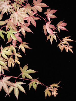 japanese maple leaves tattoo. The Japanese Maple by our