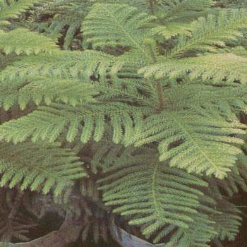 Cemara Norfolk