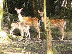 Fawns aged 1 week with their mum's