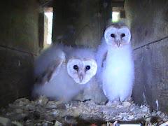 Barn Owl babies