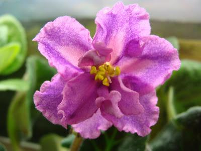 Цветут фиалочки