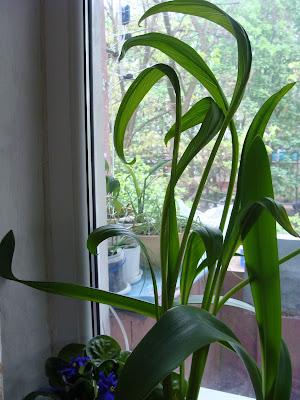 Каллы эфиопские в квартире