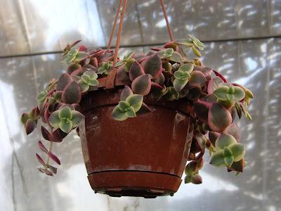 Толстянка Crassula pellucida f. rubra f. marginata