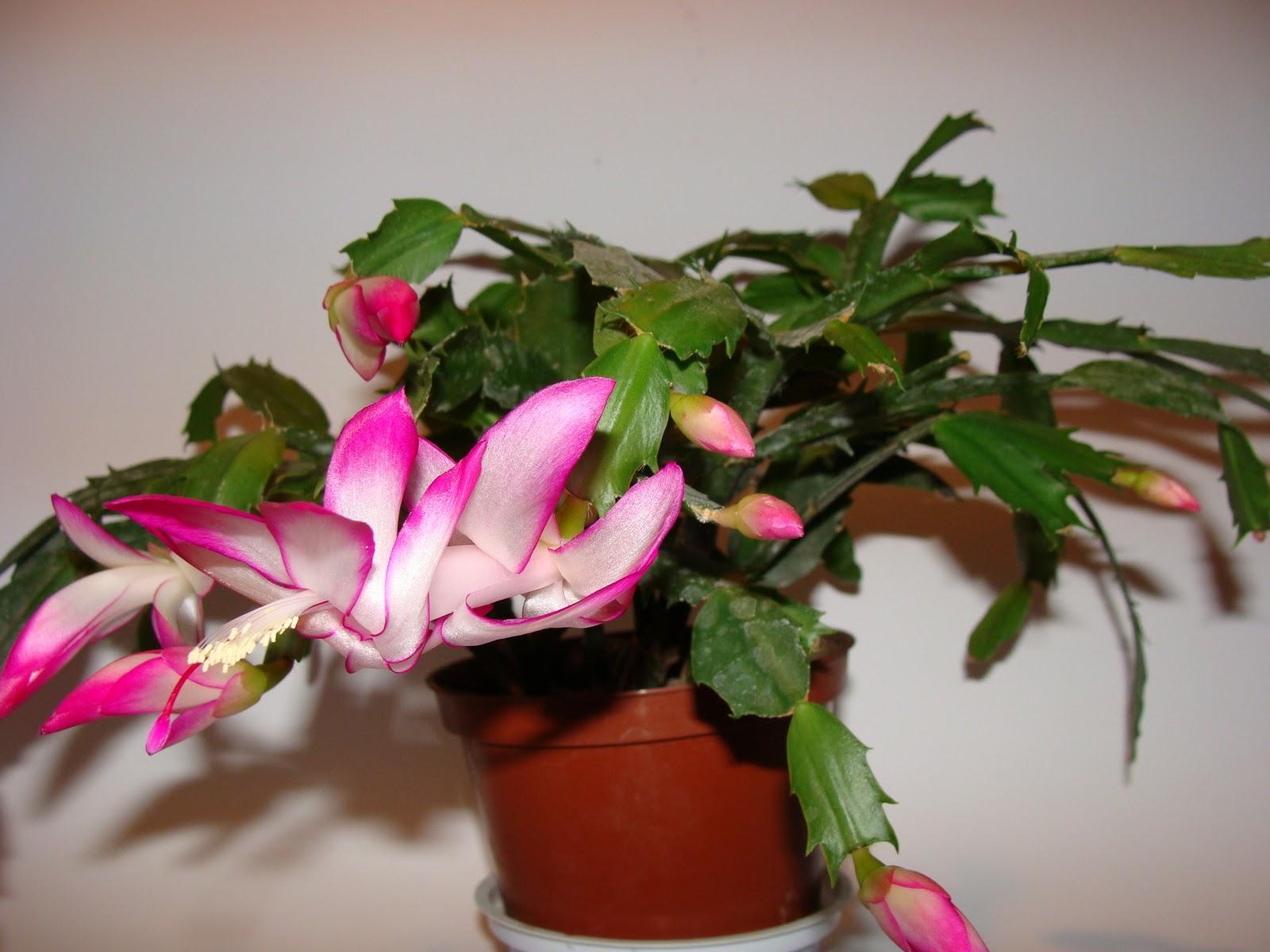 Декабрист цветок уход и размножение в домашних условиях 35