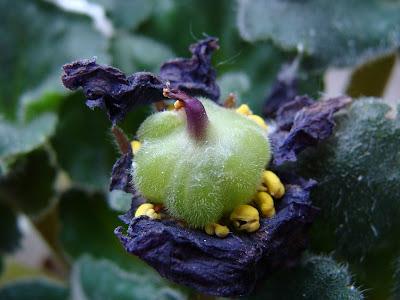 Фиалки сенполии семенами