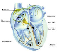 Sistema de condução elétrica do coração
