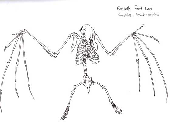 Bat skeleton drawing - photo#9