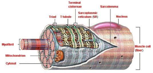 Biología 3M: Celula muscular