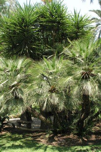 Gaj palmowy w Elx