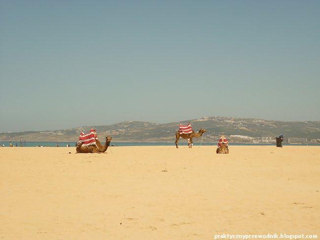 Wielbłądy w Tangerze