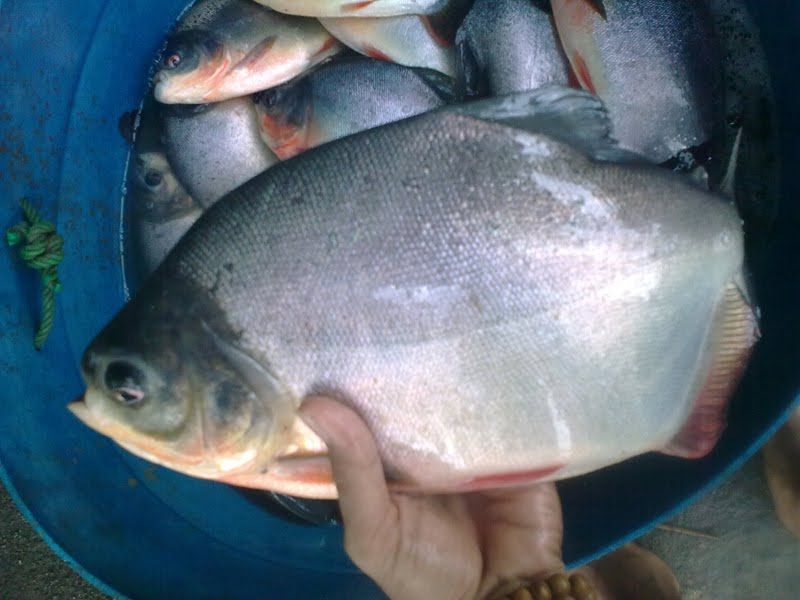 Benih Ikan Ku: Jual Ikan Bawal Konsumsi