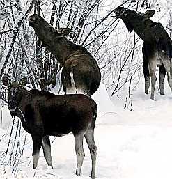Moose or meese?
