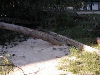 Árbol caido parque Pignatelli