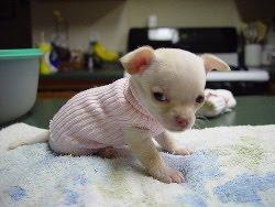 Feeding Your Chihuahua - Chihuahua Clothes