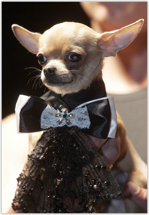 Chihuahua Fashion Clothes