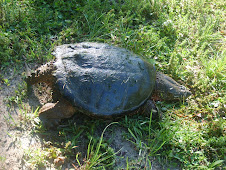 Snapping turtle caught on a fly rod