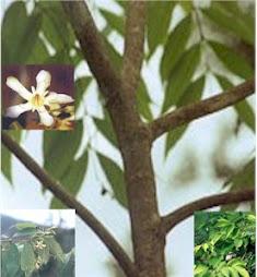 ต้นไม้ประจำจังหวัดราชบุรี