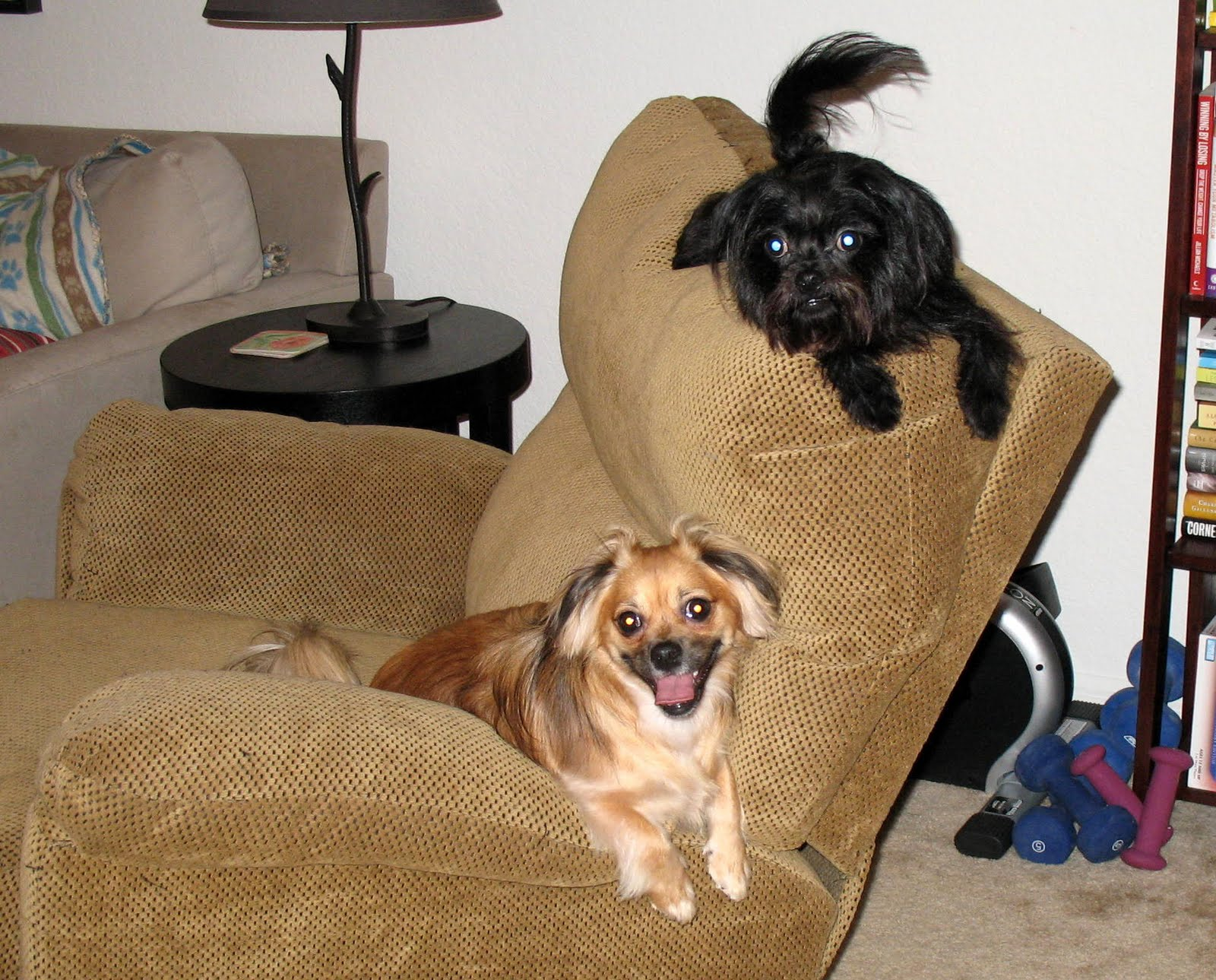 Chihuahua Shih Tzu Mix http://www.dogforums.com/general-dog-forum/2085-chihuahua-shih-tzu-mix.html