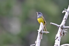 MacGillivray&#39;s Warbler