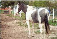 Kola-spotted saddle horse