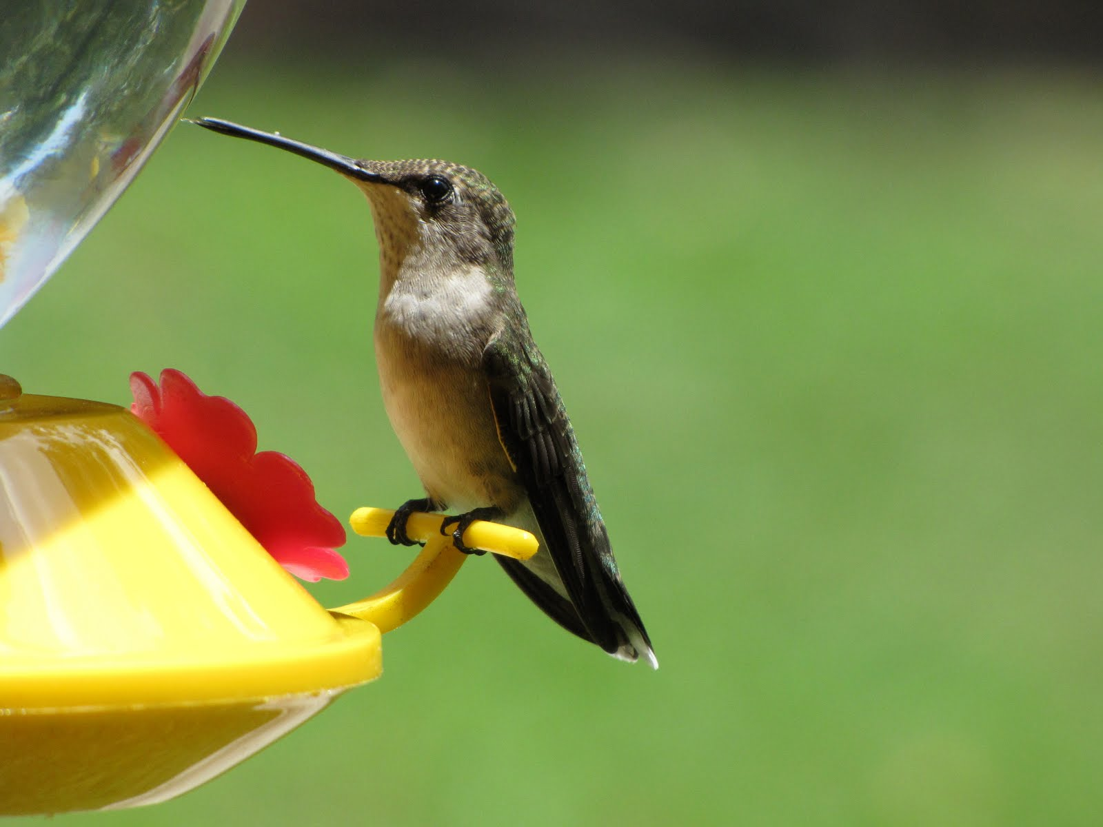 Sheris Healing Flower Garden: July's new baby hummingbirds!