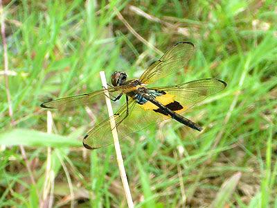 Dragonfly, Rhyothemis phyllis