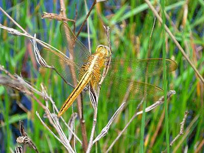 Dragonfly, Crocothemis servilia