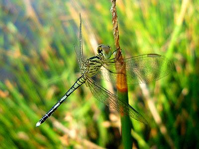 Dragonfly, Diplacodes nebulosa