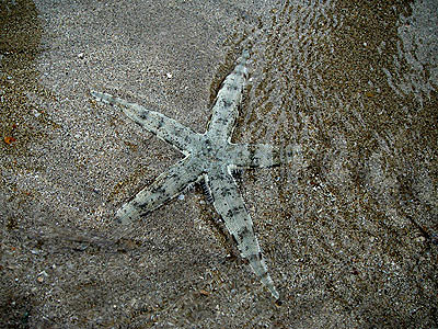 Sand-sifting sea star, Archaster typicus
