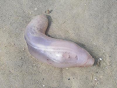 Sea cucumber, Paracaudina australis