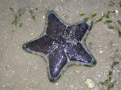Cake Sea Star (Anthenea aspera)