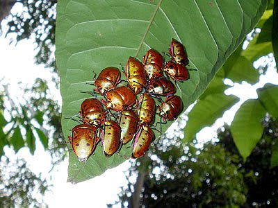 Shield-backed Bugs (Calliphara nobilis)