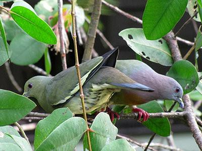 Pink-necked Green Pigeons (Treron vernans)