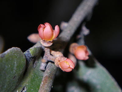 Brownlowia tersa Flowers