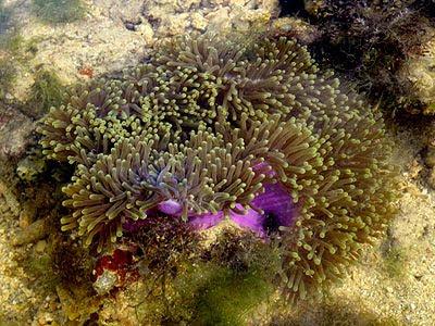 Magnificent anemone (Heteractis magnifica)