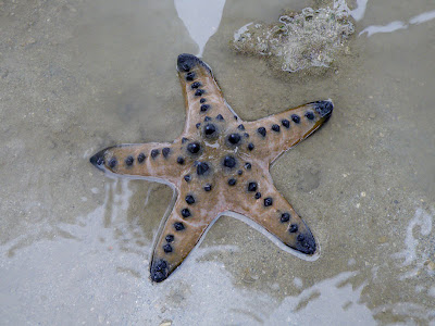 Knobbly Sea Star (Protoreaster nodosus)