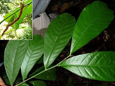 Tampines Tree, Streblus elongatus