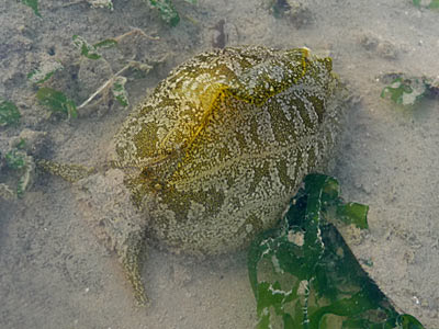 geographic sea hare