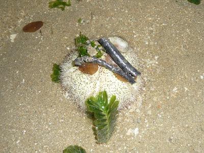Salmacis sea urchin