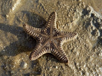 Biscuit sea star, Goniodiscaster scaber, starfish