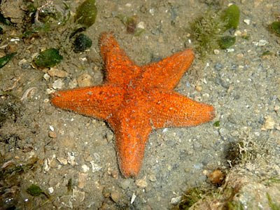 Crown sea star, Asterina coronata