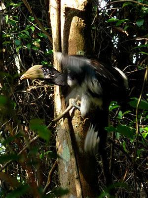 Female Oriental Pied Hornbill, Anthracoceros albirostris