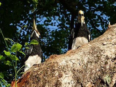 Oriental Pied Hornbills, Anthracoceros albirostris