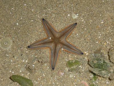 sand star, Astropecten