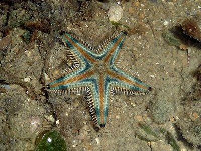 sandstar, Astropecten