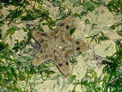 cake starfish, Anthenea aspera