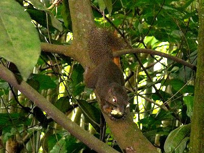 Plantain Squirrel, Callosciurus notatus