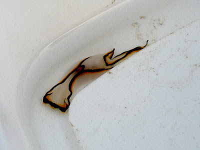 Swallowtail headshield slug, Chelidonura pallida