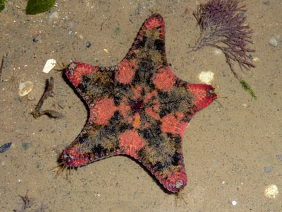 Cake sea star, Anthenea aspera