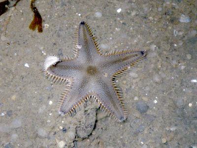 Starfish, Sand star, Astropecten indicus